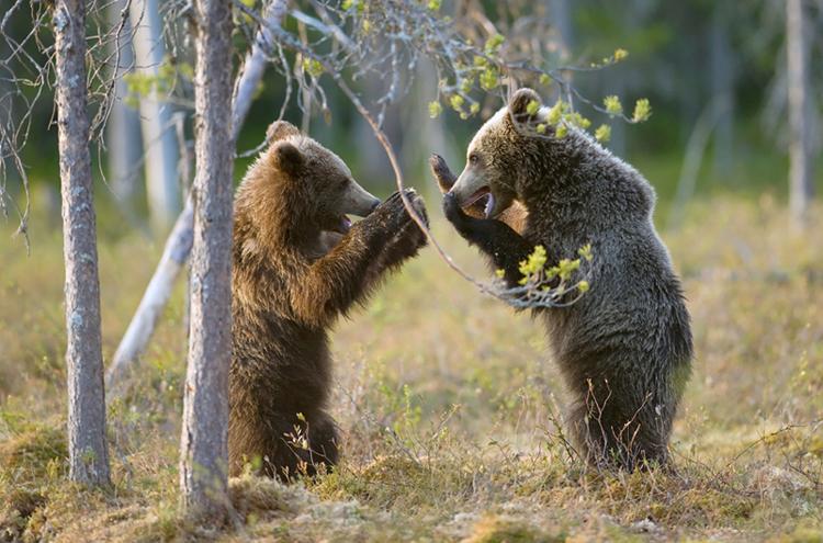 bjørneunger