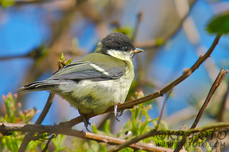 Musvit Parus major