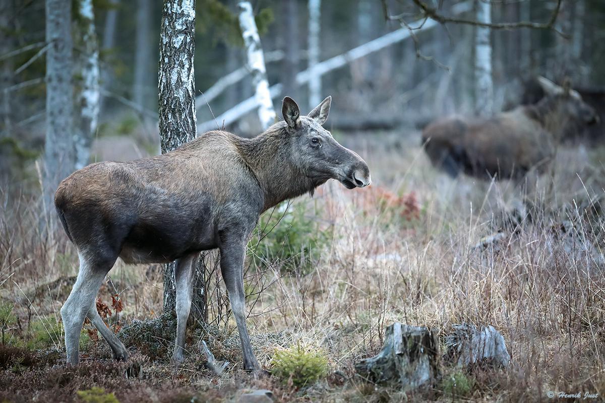 Eurasian elk - photo#32