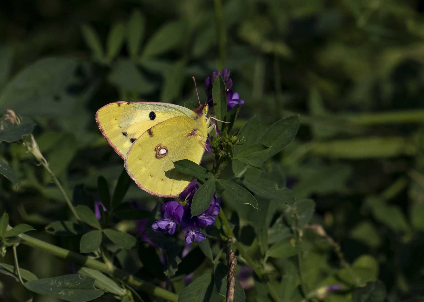 Orange Høsommerfugl Colias crocea syn.: croceus