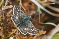 Oberthur´s Grizzled Skipper