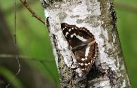 Canary Speckled Wood