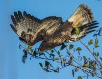 Common Buzzard