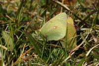 Northern Clouded Yellow