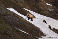 Grizzly + cubs